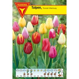 Triumph Tulpe, Mischung