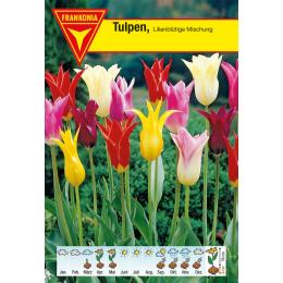Lilienblütige Tulpe, Mischung