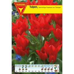 Mehrblütige Tulpe, Praestans Tubergen