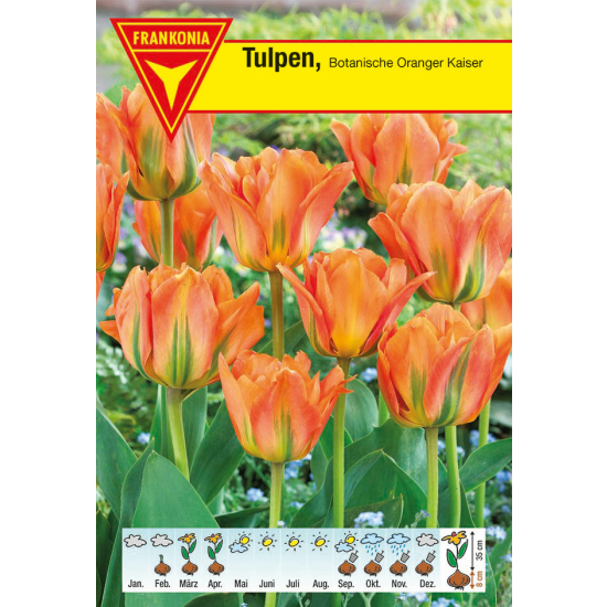 Botanische Tulpe, Oranger Kaiser