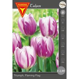 Triumph Tulpe, Flaming Flag