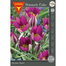 Botanische Tulpe, Persian Pearl