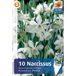 Botanische Narzisse, Triandus Thalia