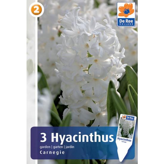 Hyazinthe, Carnegie