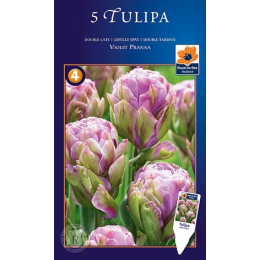Gefüllte späte Tulpe, Violet Pranaa
