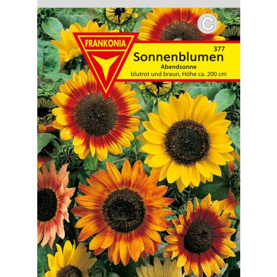Sonnenblume, Abendsonne